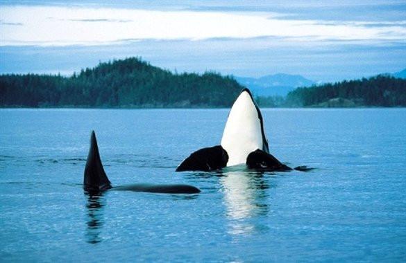 ngam-ca-voi-orcas